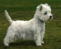 west highland terrier live.jpg